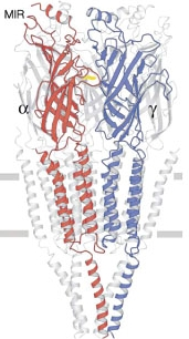 Structure of the nicotinic acetylcholine receptor channel taken from reference 3