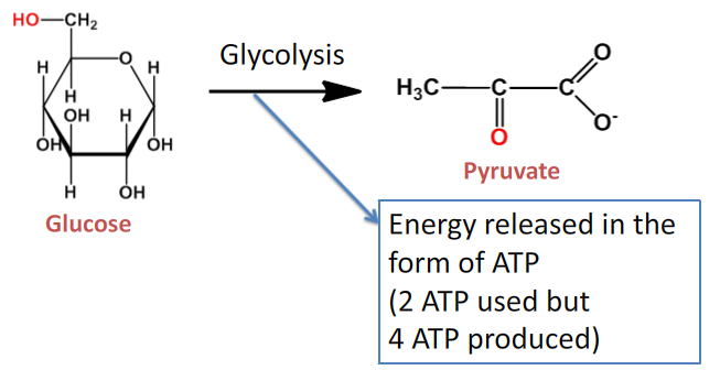 Glycolysis animation and notes animations pharmaxchangefo cellular respiration involves breaking the bonds of glucose to produce energy in the form of atp adenosine triphosphate the total energy produced during ccuart Images