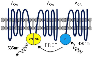 Principle of BiFC-FRET