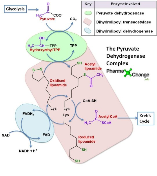 Conversion of pyruvate to acetyl CoA by the pyruvate dehydrogenase complex
